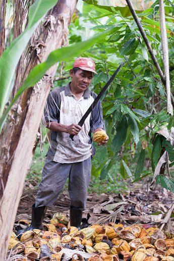 Un nuevo informe constata la disminución de ingresos de quienes producen cacao mientras el mercado global aumenta su facturación