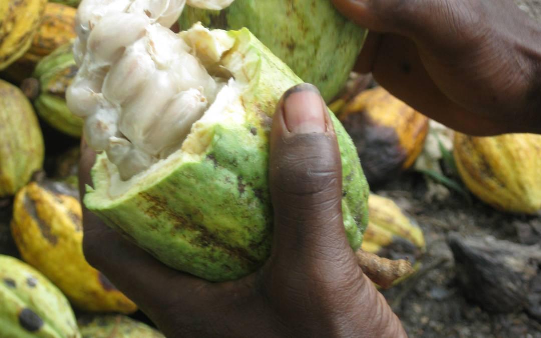 Un informe sobre el cacao aboga por cambios normativos que garanticen una cadena de suministro sostenible social y medioambientalmente